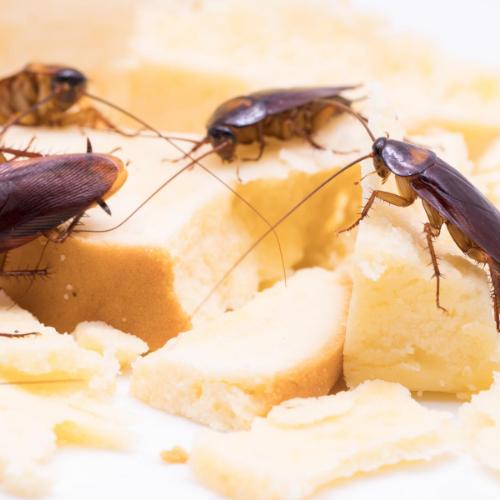 Cockroach control milton keynes