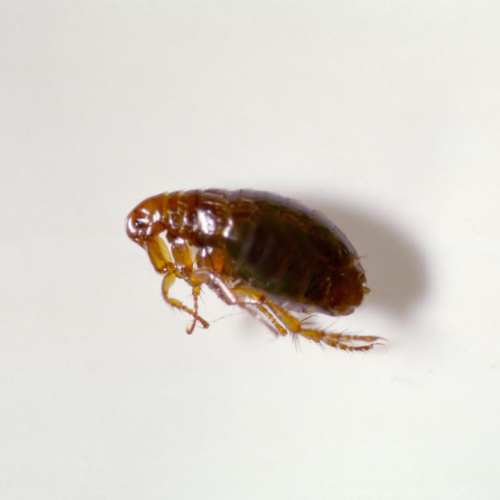 flea control milton keynes