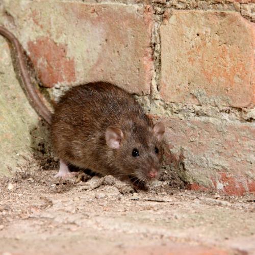 rat control milton keynes