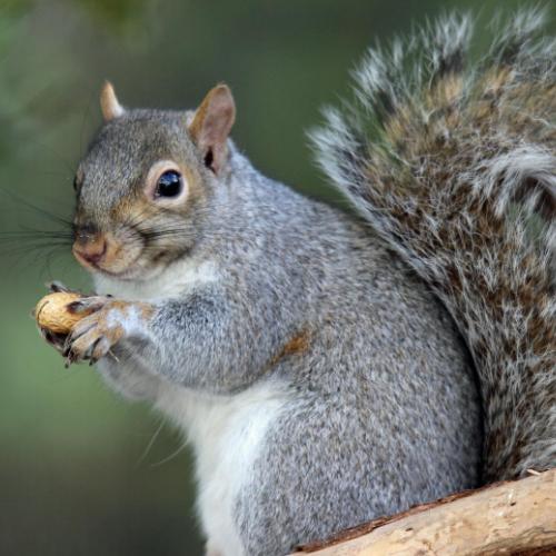 Squirrel control milton keynes